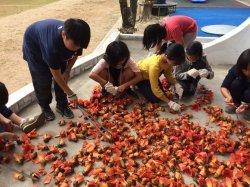 吉貝耍國小--全校動起來的課程--一起到社區去撿拾木棉花做花茶