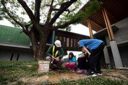春天不見綠意飄枯葉 台南左鎮化石園區搶救鎮園雨豆樹