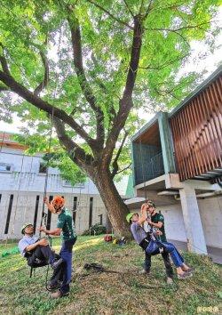 50年雨豆「綠巨人」再現生機 左鎮化石園區推攀樹體驗