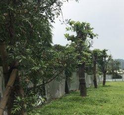化石園區老雨豆樹 展館規劃核心
